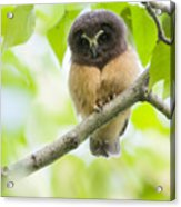 Fledgling Saw-whet Owl Acrylic Print by Tim Grams
