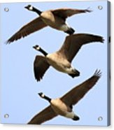 Flight Of Three Geese Acrylic Print by Wingsdomain Art and Photography