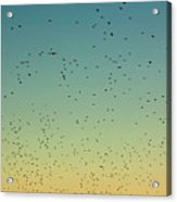 Flock Of Swallows Flying Together At Sunset Acrylic Print by Sami Sarkis
