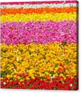 Flower Fields Carlsbad Ca Giant Ranunculus Acrylic Print by Christine Till