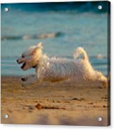 Flying Dog Acrylic Print by Harry Spitz