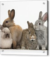 Four Baby Rabbits Acrylic Print by Mark Taylor
