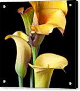Four Calla Lilies Acrylic Print by Garry Gay