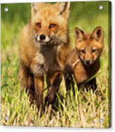 Fox Family Acrylic Print by Mircea Costina Photography