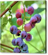 Fruit Of The Vine Acrylic Print by Kristin Elmquist