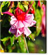 Fuchsia Enjoying The Sunshine Acrylic Print by Kaye Menner