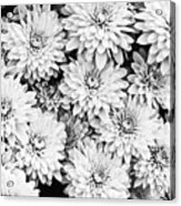 Garden Mums Acrylic Print by Ryan Kelly