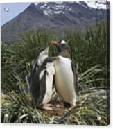 Gentoo Penguin And Young Chicks Acrylic Print by Suzi Eszterhas