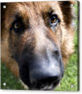 German Shepherd Dog Acrylic Print by Fabrizio Troiani