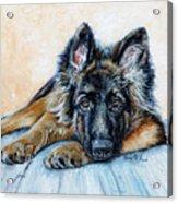 German Shepherd Acrylic Print by Enzie Shahmiri