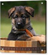 German Shepherd Puppy In Planter Acrylic Print by Sandy Keeton
