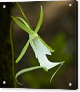 Ghost Orchid  Acrylic Print by Rich Leighton
