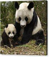 Giant Panda Ailuropoda Melanoleuca Acrylic Print by Katherine Feng
