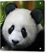 Giant Panda Acrylic Print by Julie L Hoddinott