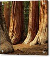 Giant Sequoias, Yosemite National Park Acrylic Print by Andrew C Mace