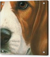Goggie Beagle Acrylic Print by Karen Coombes