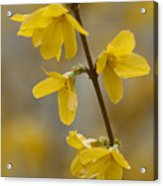 Golden Forsythia Acrylic Print by Kathy Clark