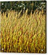 Golden Grasses Acrylic Print by Meirion Matthias