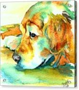 Golden Retriever Profile Acrylic Print by Christy  Freeman