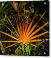 Golden Saw Palmetto Acrylic Print by John Myers
