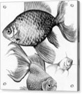 Goldfish Acrylic Print by Sarah Batalka