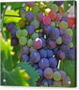 Grapes Acrylic Print by Kelly Wade