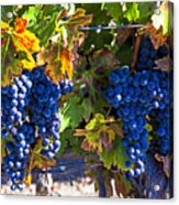 Grapes Ready For Harvest Acrylic Print by Garry Gay