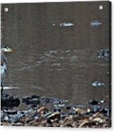 Great Blue Heron Wading 1 Acrylic Print by Douglas Barnett