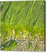 Green Algae On Rock Acrylic Print by Kenneth Albin