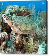 Green Sea Turtle On Caribbean Reef Acrylic Print by Karen Doody