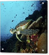 Green Sea Turtle Resting On A Plate Acrylic Print by Mathieu Meur