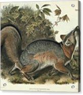 Grey Fox Acrylic Print by John James Audubon