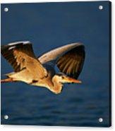 Grey Heron In Flight Acrylic Print by Johan Swanepoel