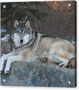Grizzer Intelligence Personified Acrylic Print by Gerry Sibell
