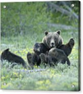 Grizzly Romp - Grand Teton Acrylic Print by Sandra Bronstein