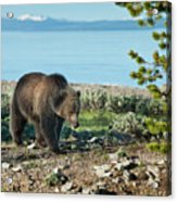 Grizzly Sow At Yellowstone Lake Acrylic Print by Sandra Bronstein