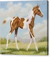 Half Arabian Pinto Filly Acrylic Print by Dorothy Coatsworth