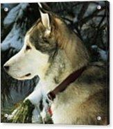 Handsome Husky Nanuk Acrylic Print by Marjorie Imbeau