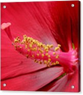 Hardy Hibiscus Acrylic Print by Jeannie Burleson