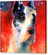 Harlequin Great Dane Watercolor Painting Acrylic Print by Svetlana Novikova