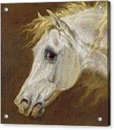 Head Of A Grey Arabian Horse  Acrylic Print by Martin Theodore Ward