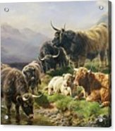 Highland Cattle Acrylic Print by William Watson