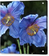 Himalayan Poppy (meconopsis Grandis) Acrylic Print by Dr Keith Wheeler
