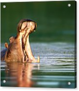 Hippopotamus Acrylic Print by Johan Swanepoel