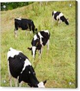 Holstein Cattle Acrylic Print by Gaspar Avila