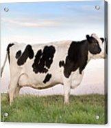 Holstein Dairy Cow Acrylic Print by Cindy Singleton