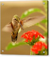 Hummingbird Acrylic Print by Don Wolf