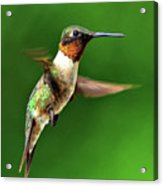 Hummingbird In Mid-air Acrylic Print by Jeff R Clow