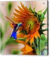Hummingbird On Sunflower Acrylic Print by John  Kolenberg