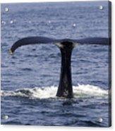 Humpback Whale Swimming Acrylic Print by Tim Laman